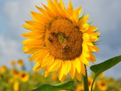 Sonnenblumen in der Toskana. Aufnahme während der Fastenwanderung.