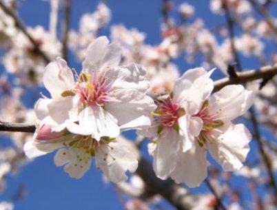 Mandelblüte auf La Palma. Fotoaufnahme während des Fastenwanderns