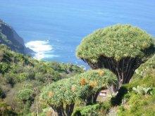 Das Land der Drachenbäume in Las Tricias